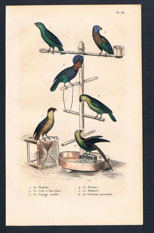 Papagei Papageien Vögel birds antique print engraving Stahlstich