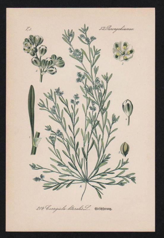 Hirschsprung Corrigiola Kräuter Heilkräuter herbs herbal Lithographie