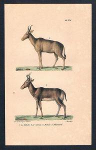 Kuhantilope Antilope Antilopen Gazelle animal Lithographie lithography