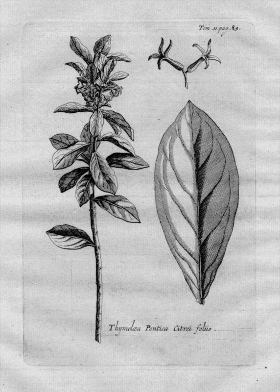 Thymelaea Seidelbast Spatzenzunge Heilkräuter Kräuter Kupferstich engraving