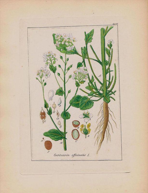Löffelkraut Cochlearia Kräuter Heilkräuter herbal herbs Kupferstich