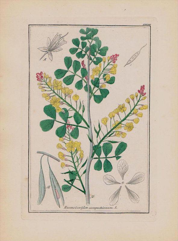 Blutholzbaum Campechebaum Kräuter Heilkräuter herbal herbs Kupferstich