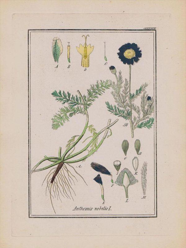 Römische Kamille Anthemis Kräuter Heilkräuter herbal herbs Kupferstich