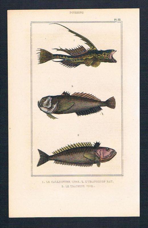 Leierfisch Fisch Fische fish antique print engraving Stahlstich
