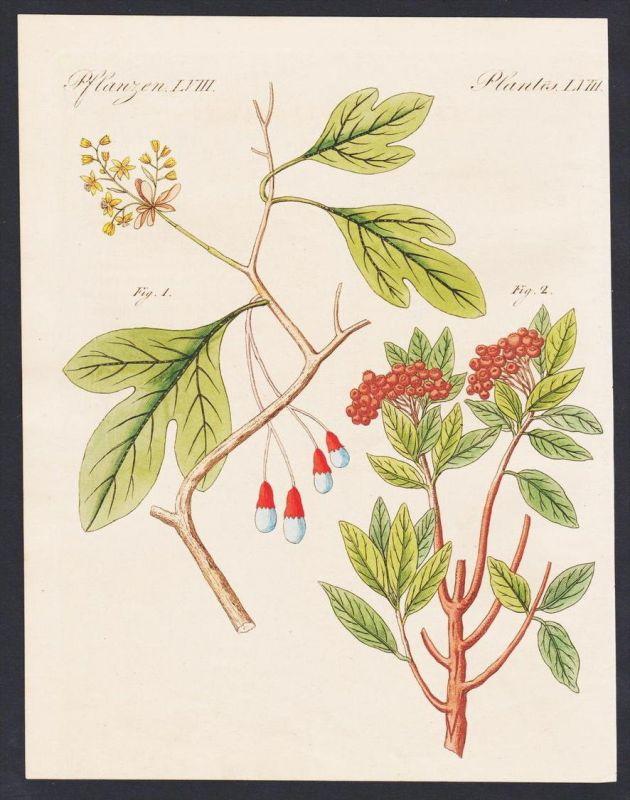 - pepper Pfeffer flower botany Botanik engraving antique print Bertuch