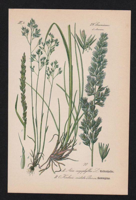 Nelken-Haferschmiele Kammgras Lithographie Kräuter Heilkräuter herbs herbal