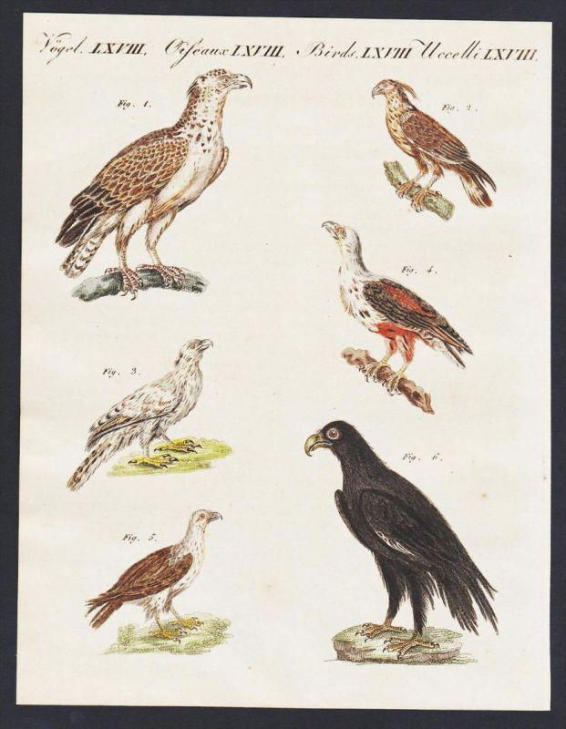 - Flores hawk eagle bearded vulture Adler engraving antique print Bertuch