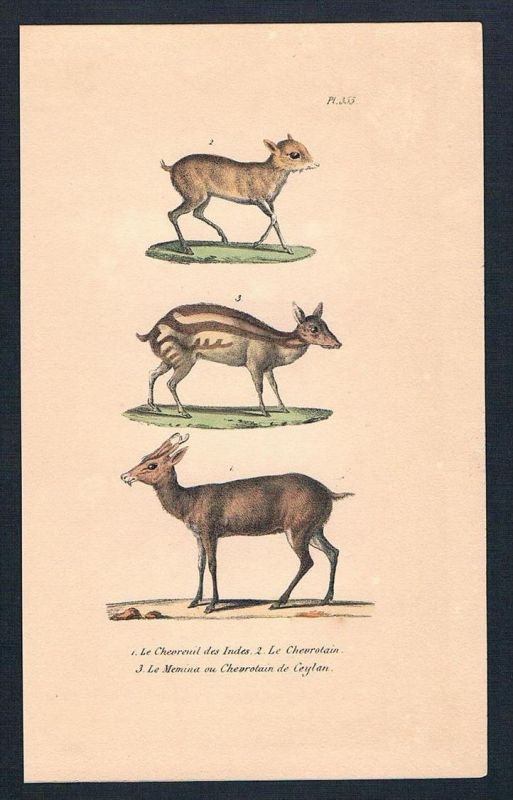 Wildtier Wild Chevreuil Chevrotain animal Lithographie lithography