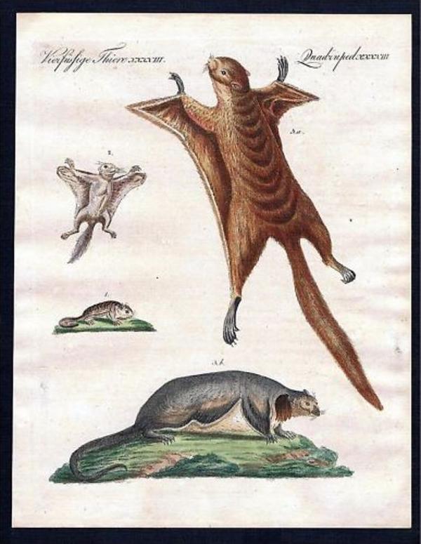 Flughörnchen flying squirrel Kupferstich Bertuch