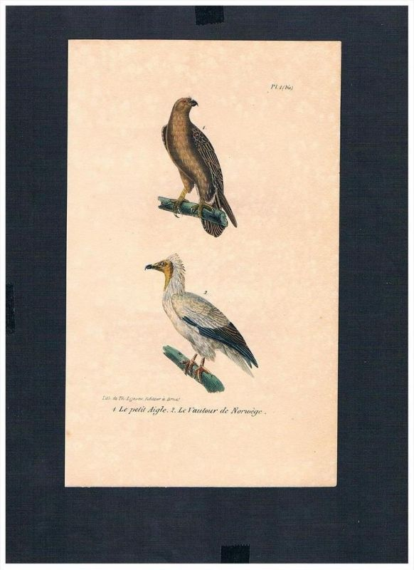 Adler Geier eagle vulture Vogel Vögel bird birds Lithographie Lithograph