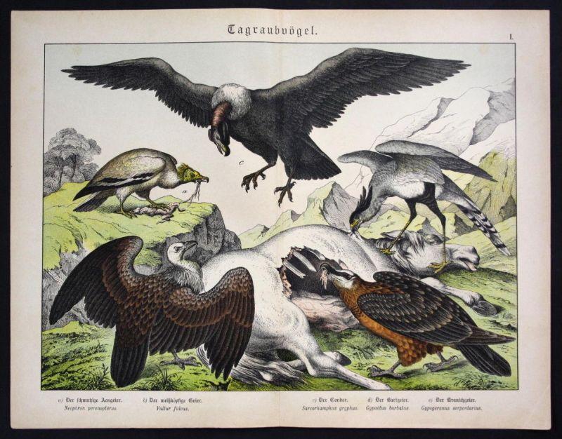 Schmutzgeier Geier Kondor vulture Lithographie Schreiber antique print
