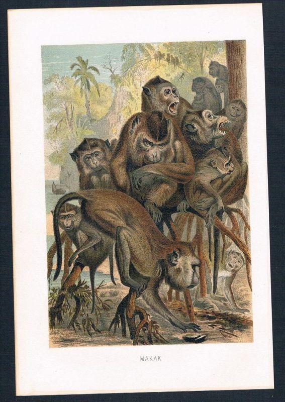 Makaken Affen Affe monkey monkeys Original Farblithographie lithography
