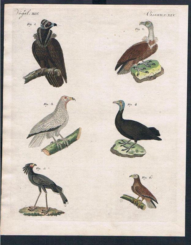 Raubvögel Geyer Geier vulture Vögel birds engraving Kupferstich Bertuch