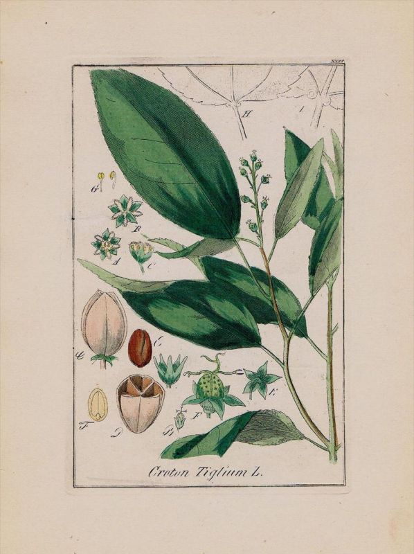 Kaskarillabaum Crotonöl Kräuter Heilkräuter herbal herbs Kupferstich