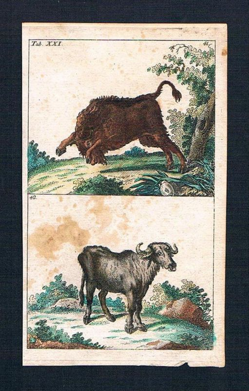 Büffel buffle Stier Kuh animal animals engraving Original Kupferstich