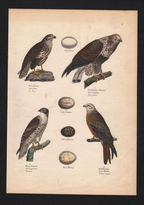 Bussarde Buteo hawk hawks Vogel Vögel bird birds Lithographie