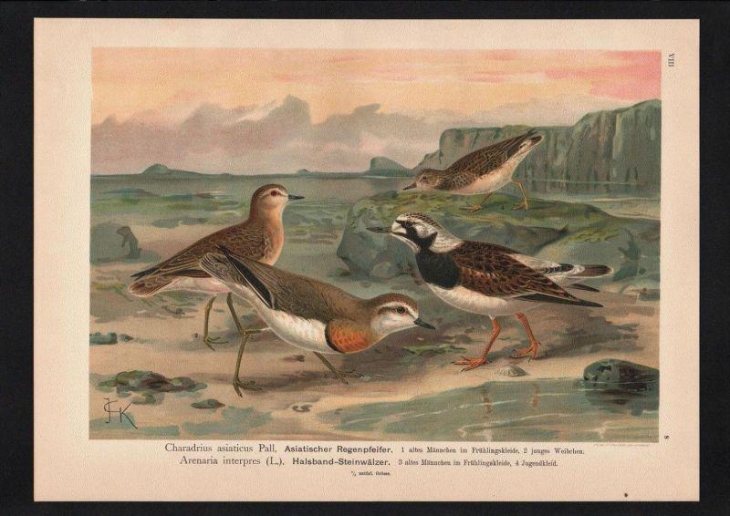 Asien Regenpfeiffer Vögel Vogel bird birds Farblithographie Naumann