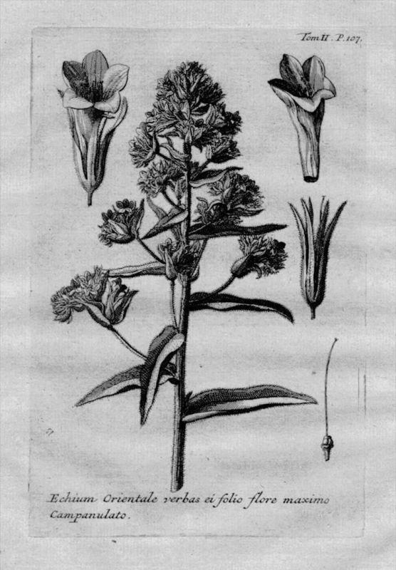 Natternköpfe Echium Heilkräuter Kräuter Kupferstich engraving