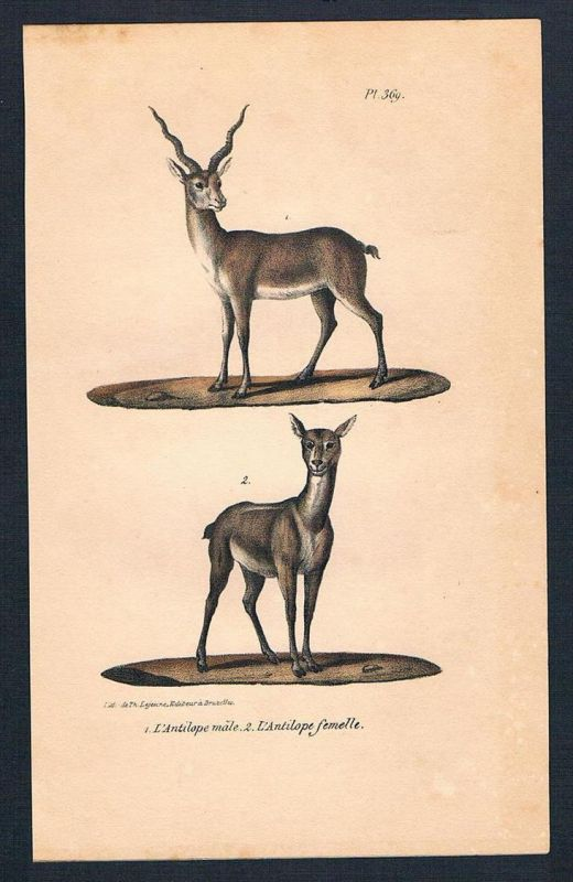 Antilope Antilopen animal animals Original Lithographie lithography