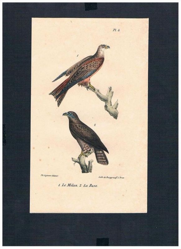 Bussarde Buteo Hawks Vogel Vögel bird birds Lithographie Lithograph