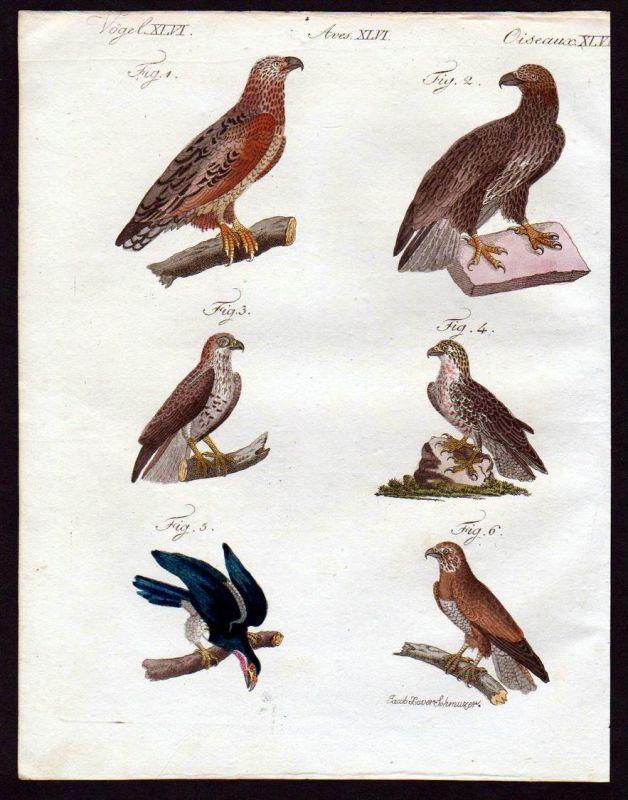 Seeadler Adler eagle Bussard hawk Vögel birds Kupferstich engraving