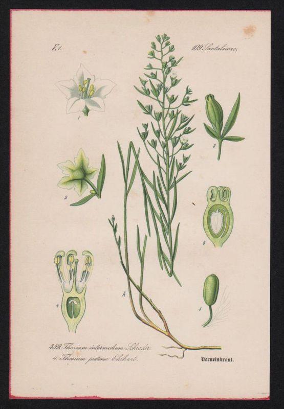 Sandelholzgewächse Lithographie Kräuter Heilkräuter herbs herbal