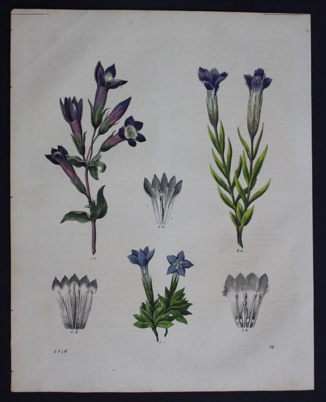 Enzian Gentiana Blume flower Lithographie Lithograph