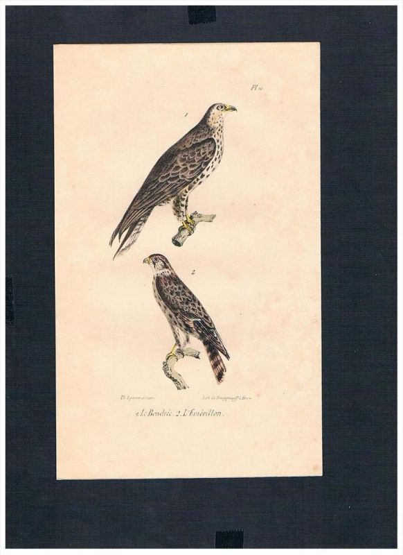 Falken Falke falcons falcon Vogel Vögel bird birds Lithographie Lithograph