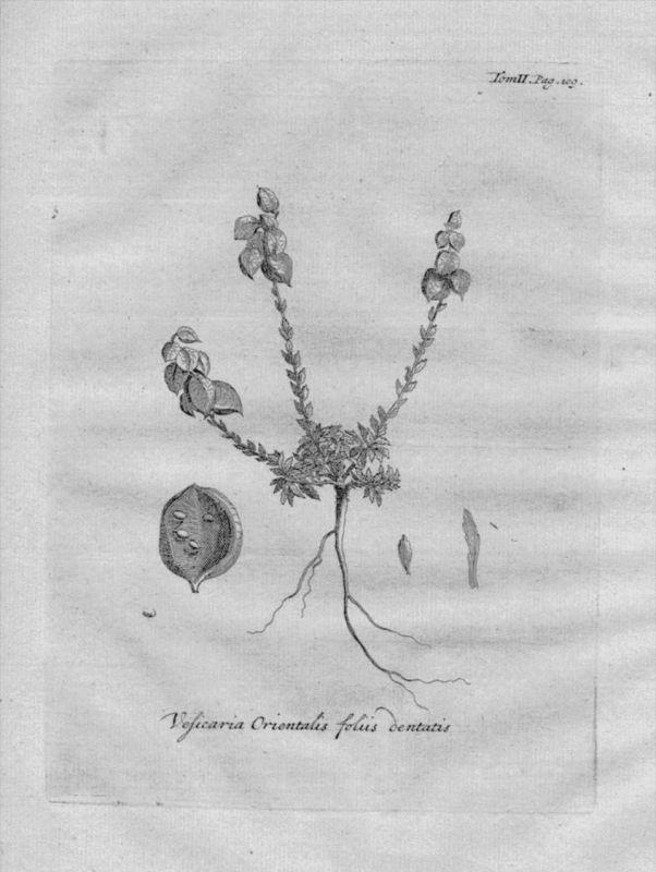 Vesicaria orientalis Heilkräuter Kräuter Kupferstich engraving