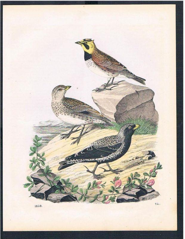 Vogel Vögel bird birds Amsel Original Druck print