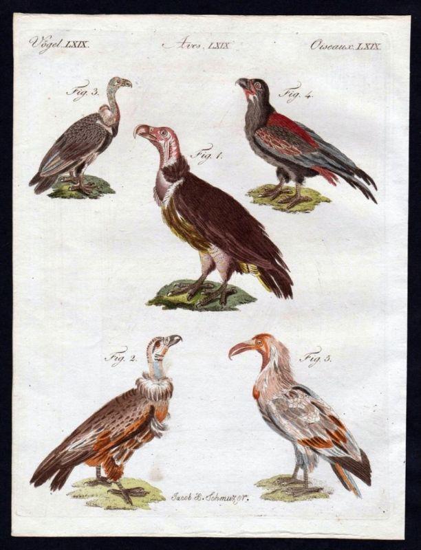 Ohrengeier lappet faced vulture Geier Vögel birds Kupferstich engraving