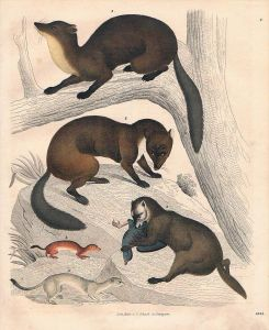 Marder Iltis marten Jagd hunting Lithographie lithograph