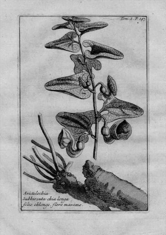 Pfeifenblumen Aristolochia Heilkräuter Kräuter Kupferstich engraving