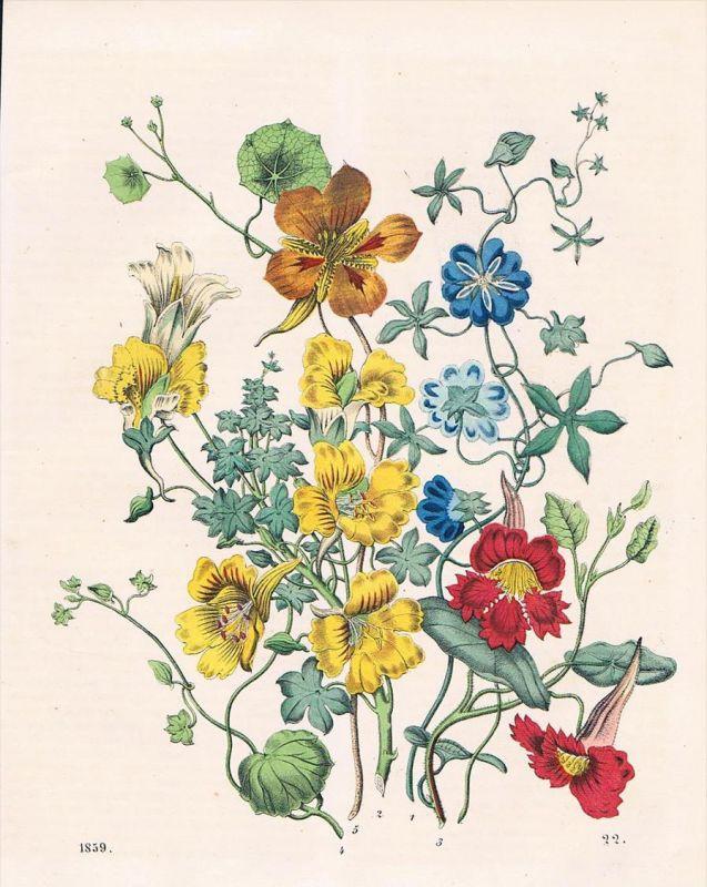 Kapuzinerkresse Kresse Tropaeolum nasturtium Blume flower Lithographie lithograph