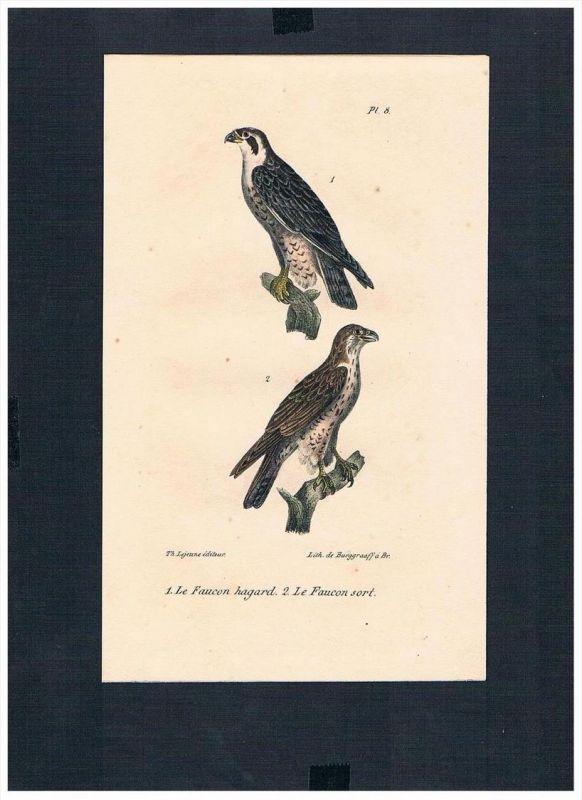 Falke Falken falcon Vogel Vögel bird birds Lithographie Lithograph