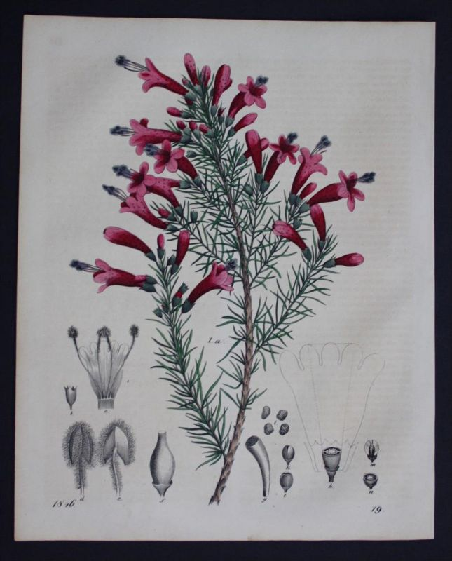 Berg-Virgularie Bergblume flower Blume Lithographie Lithograph