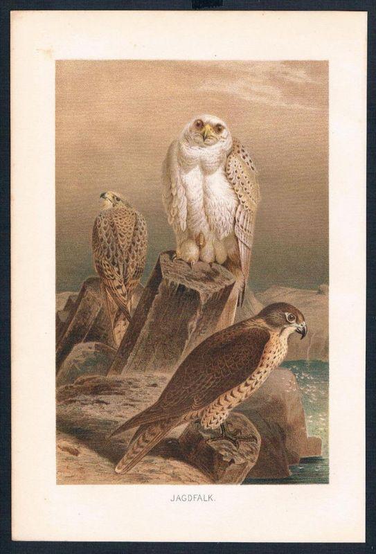 Jagdfalke Falke falcon Vögel bird birds Farblithographie lithography