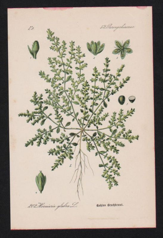 Kahles Bruchkraut Nelken Kräuter Heilkräuter herbs herbal Lithographie