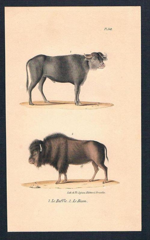 Bison Büffel Rind Rinder animal Original Lithographie lithography