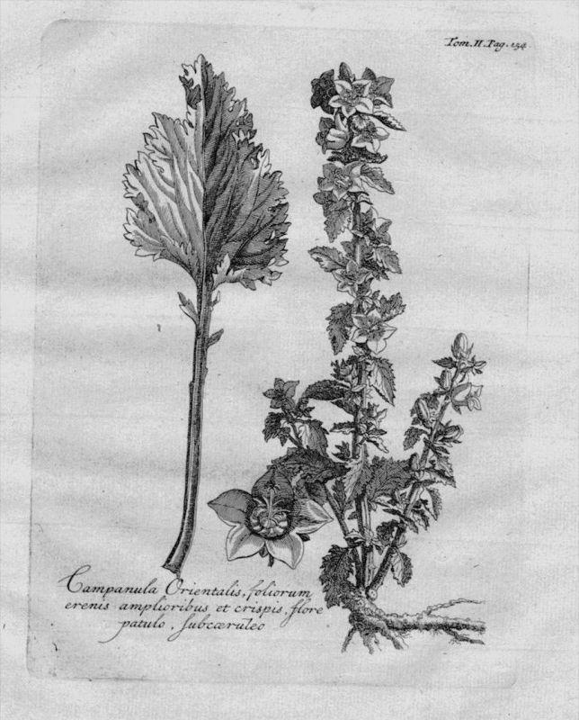 Campanula Glockenblume Heilkräuter Kräuter Kupferstich engraving