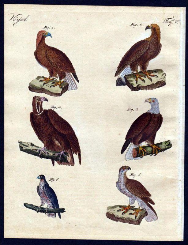 - eagle falcon hawk bird birds Vogel Vögel engraving antique print Bertuch