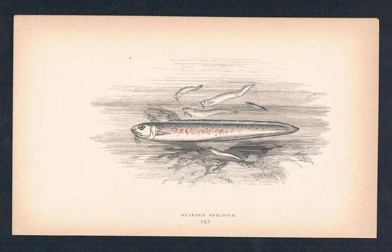 Bearded Ophidium Afrika Africa Fisch fish Holzstich antique print