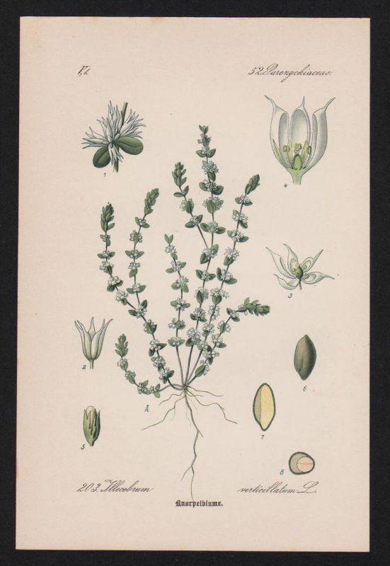 Knorpelkraut Knorpelmiere Kräuter Heilkräuter herbs herbal Lithographie