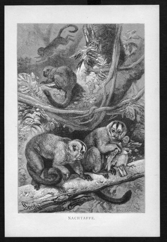 Nachtaffe Affe Affen monkey monkeys Original Holzstich woodcut