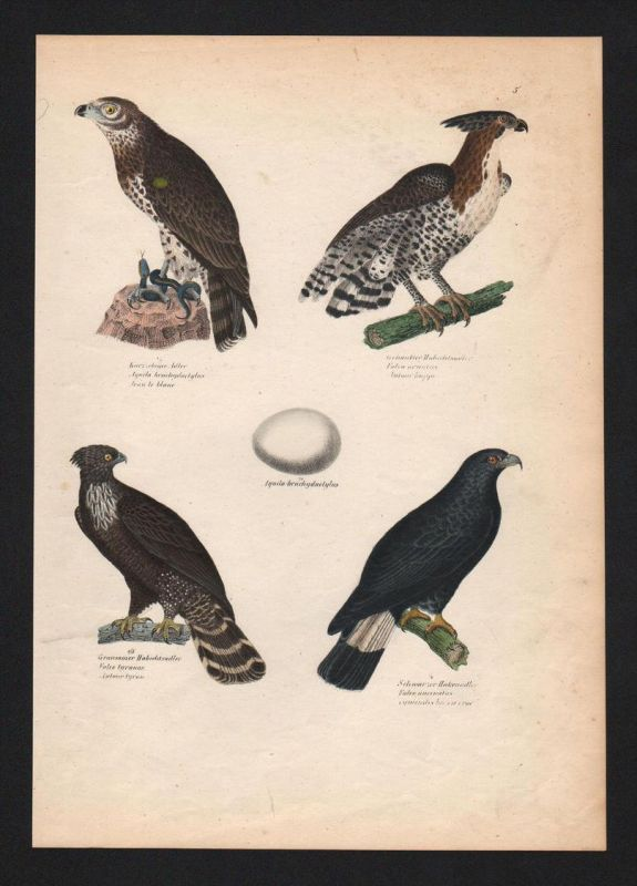 Adler eagle Habicht northern goshawk Vogel Vögel bird birds Lithographie