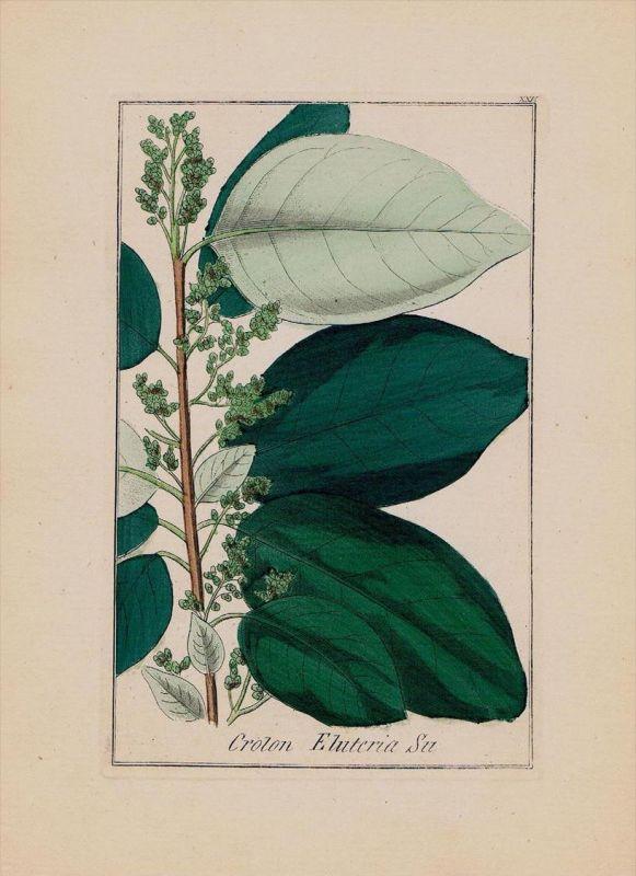 Kaskarillabaum Cascarilla Kräuter Heilkräuter herbal herbs Kupferstich