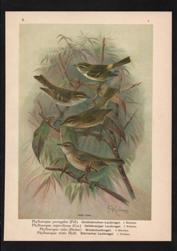 Laubvogel foliage bird Vögel Vogel bird birds Farblithographie Naumann