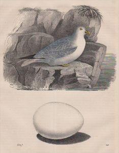 Sturmvogel Ei petrel egg bird Vogel Tier animal Original Lithographie