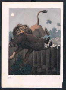 Löwe lion Jagd hunting Beute animal animals Original Druck print