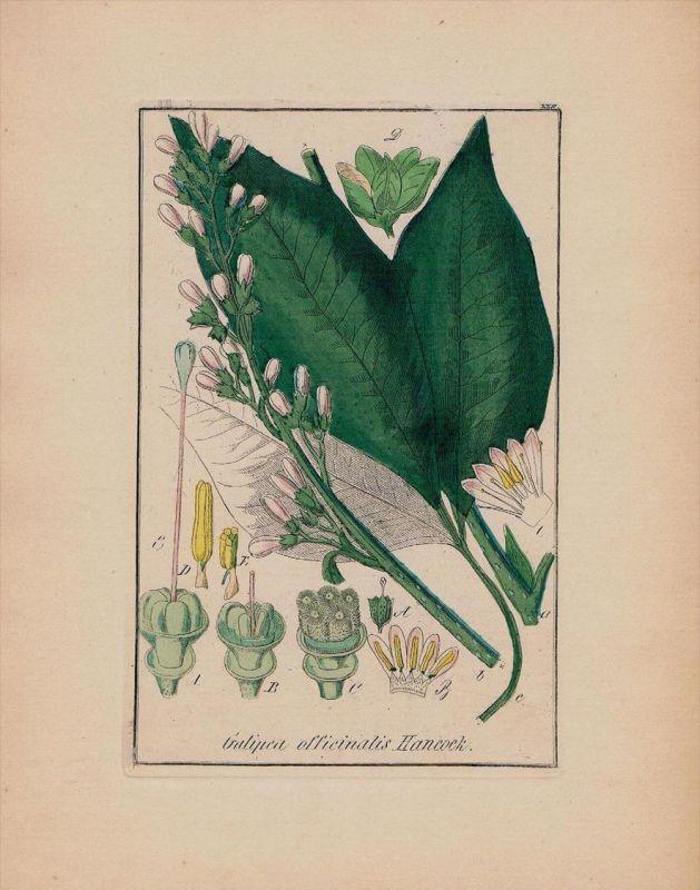Agnostura Galipea Kräuter Heilkräuter herbal herbs Kupferstich engraving